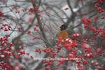 01382-05210 American Robin (Turdus migratorius) in Common Winterberry bush (Ilex verticillata) in winter, Marion Co., IL