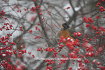 01382-05211 American Robin (Turdus migratorius) in Common Winterberry bush (Ilex verticillata) in winter, Marion Co., IL