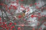 01382-05212 American Robin (Turdus migratorius) in Common Winterberry bush (Ilex verticillata) in winter, Marion Co., IL