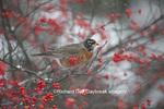 01382-05213 American Robin (Turdus migratorius) in Common Winterberry bush (Ilex verticillata) in winter, Marion Co., IL