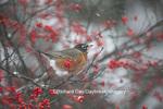 01382-05214 American Robin (Turdus migratorius) in Common Winterberry bush (Ilex verticillata) in winter, Marion Co., IL