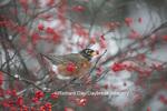 01382-05215 American Robin (Turdus migratorius) eating berry in Common Winterberry bush (Ilex verticillata) in winter, Marion Co. IL