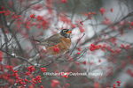 01382-05216 American Robin (Turdus migratorius) eating berry in Common Winterberry bush (Ilex verticillata) in winter, Marion Co. IL