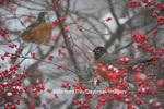 01382-05217 American Robins (Turdus migratorius) in Common Winterberry bush (Ilex verticillata) in winter, Marion Co., IL
