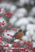 01382-05218 American Robin (Turdus migratorius) in Common Winterberry bush (Ilex verticillata) in winter, Marion Co., IL