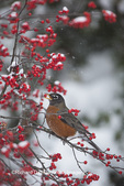 01382-05219 American Robin (Turdus migratorius) in Common Winterberry bush (Ilex verticillata) in winter, Marion Co., IL