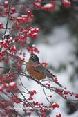 01382-05220 American Robin (Turdus migratorius) in Common Winterberry bush (Ilex verticillata) in winter, Marion Co., IL