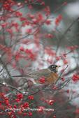 01382-05302 American Robin (Turdus migratorius) in Common Winterberry bush (Ilex verticillata) in winter, Marion Co., IL
