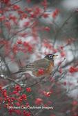 01382-05303 American Robin (Turdus migratorius) in Common Winterberry bush (Ilex verticillata) in winter, Marion Co., IL