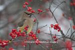01415-03410 Cedar Waxwing (Bombycilla cedrorum) in Common Winterberry bush (Ilex verticillata) in winter, Marion Co., IL