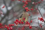 01415-03412 Cedar Waxwing (Bombycilla cedrorum) eating berry in Common Winterberry bush (Ilex verticillata) in winter, Marion Co. IL