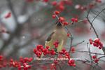 01415-03413 Cedar Waxwing (Bombycilla cedrorum) eating berry in Common Winterberry bush (Ilex verticillata) in winter, Marion Co. IL