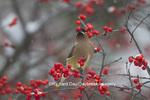 01415-03414 Cedar Waxwing (Bombycilla cedrorum) eating berry in Common Winterberry bush (Ilex verticillata) in winter, Marion Co. IL