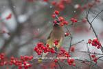 01415-03415 Cedar Waxwing (Bombycilla cedrorum) eating berry in Common Winterberry bush (Ilex verticillata) in winter, Marion Co. IL