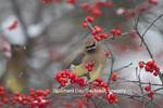 01415-03416 Cedar Waxwings (Bombycilla cedrorum) in Common Winterberry bush (Ilex verticillata) in winter, Marion Co., IL