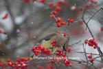 01415-03417 Cedar Waxwing (Bombycilla cedrorum) eating berry in Common Winterberry bush (Ilex verticillata) in winter, Marion Co. IL,