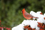 01530-21817 Northern Cardinal (Cardinalis cardinalis) male in Scarlet Firethorn (Pyracantha coccinea) in winter, Marion Co., IL