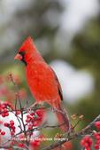 01530-21819 Northern Cardinal (Cardinalis cardinalis) male in Common Winterberry bush (Ilex verticillata) in winter, Marion Co IL