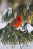 01530-21914 Northern Cardinal (Cardinalis cardinalis) male in White pine tree (Pinus strobus) in winter, Marion Co., IL