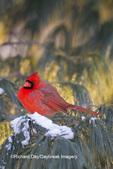 01530-21915 Northern Cardinal (Cardinalis cardinalis) male in White pine tree (Pinus strobus) in winter, Marion Co., IL