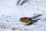 01582-00201 Eastern Towhee (Pipilo erythrophthalmus) female in winter, Marion Co., IL