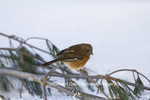 01582-00203 Eastern Towhee (Pipilo erythrophthalmus) female in winter, Marion Co., IL
