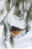 01582-00205 Eastern Towhee (Pipilo erythrophthalmus) male in winter, Marion Co., IL