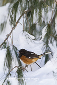 01582-00206 Eastern Towhee (Pipilo erythrophthalmus) male in winter, Marion Co., IL