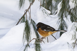 01582-00208 Eastern Towhee (Pipilo erythrophthalmus) male in winter, Marion Co., IL