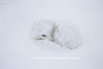 01863-01703 Arctic Fox (Alopex lagopus) in winter, Churchill Wildlife Management Area, Churchill, MB