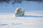 01874-13517 Polar Bear (Ursus maritimus) lying on back, Churchill Wildlife Management Area, Churchill, MB