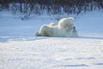 01874-13601 Polar Bear (Ursus maritimus) lying on back, Churchill Wildlife Management Area, Churchill, MB