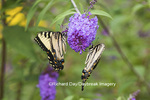 03023-02812 Eastern Tiger Swallowtail Butterflies (Papilio glaucus) males on Butterfly Bush (Buddleia davidii) Marion Co., IL