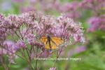 03536-05316 Monarch Butterfly (Danaus plexippus) on Joe Pye Weed (Euthrochium purpureum) Marion Co., IL