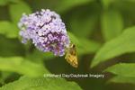 03738-00306 Zabulon Skipper (Poanes zabulon) male on Butterfly Bush (Buddleia davidii), Marion Co., IL
