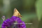 03738-00310 Zabulon Skipper (Poanes zabulon) male on Butterfly Bush (Buddleia davidii), Marion Co., IL