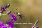 04005-00218 Hummingbird Clearwing Moth (Hemaris thysbe) on Missouri Ironweed (Vernonia missurica) Marion Co., IL