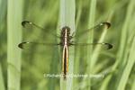 06617-00414 Spangled Skimmer Dragonfly (Libellula cyanea) female, Marion Co., IL