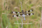 06625-00910 Twelve-spotted Skimmer Dragonfly (Libellula pulchella) male, Marion Co., IL