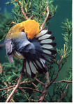 Prothonotary Warbler spreading its tail while preening. Appropriately called the