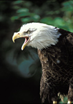 Bald Eagle symbol of strength, freedom and the United States National bird.