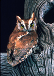 Eastern Screech Owls nest in natural cavities or will also accept a nest box.