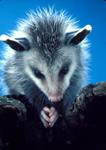 """This young Virginia Opossum looks like here is praying but he really has just stuck a grape in his mouth from a """"bird"""" feeding tray."""