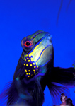 Mandarin Fish – lives on broken coral bottoms in the Indian Ocean and Australia.