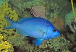 Blue Hamlet,  Hypoplectrus gemma, tropical fish, blue, blue fish, atlantic fish, atlantic ocean, aquatic, marine