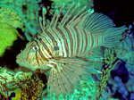 Lion fish, a tropical indo-pacific species, has poisonous tipped spines on dorsal fins which are dangerous to bare feet.