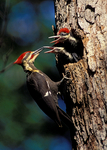 Pileated Woodpecker at nest feeding young.