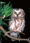 Northern Saw-whet Owl, Aegolius acadicus, looking surprised, Shenandoah River State Park, Virginia