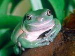 White's Tree Frog looking smug