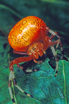 Marbled Orb Weaver has Halloween colors. Shenandoah National Park, Virginia